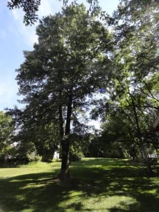 The commemorative oak tree still thrives today.